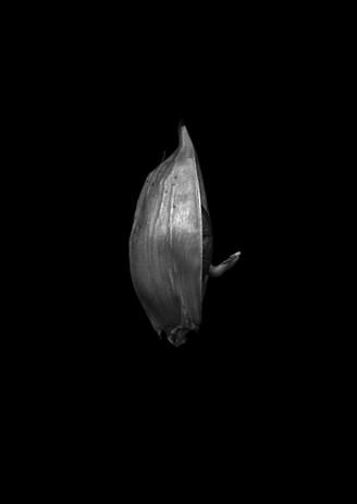 Jaculator.jpg