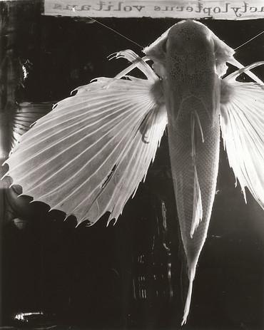Dactylopterus Volitans II.jpg
