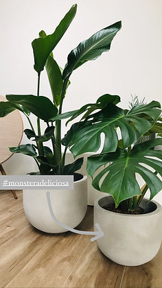 Monstera Deliciosa & Bloempot Medium
