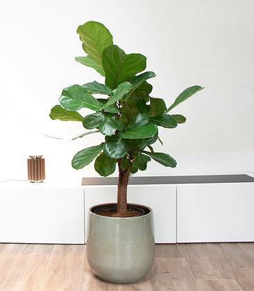 Ficus Lyrata (120cm) x Urban Jungle bloempot