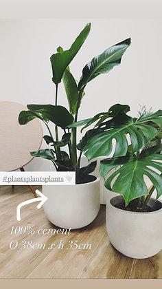 Strelitzia Nicolai & bloempot Large