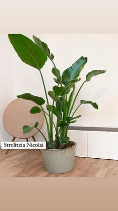 Strelitzia Nicolai - Paradijsvogelplant - XLarge