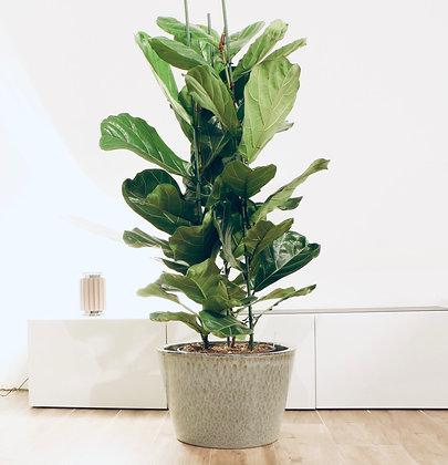 Ficus Lyrata (150 cm) - Tabaksplant - Vioolplant