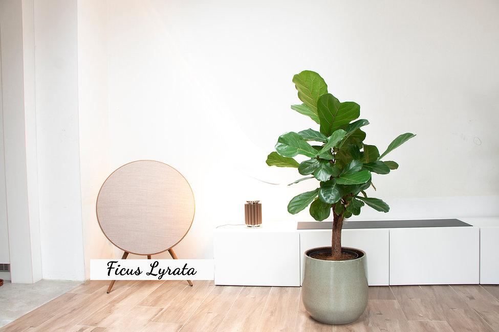 thegreenstudio_ ficus Lyrata 120 _ bloem