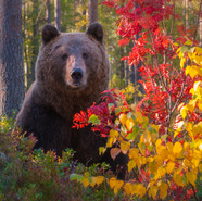 Autumn Bear-Sweden