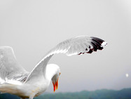 Seagull Back
