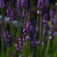 Norway Lavender
