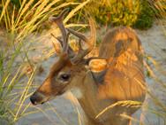 Jones Beach Deer