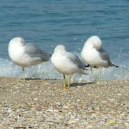 FS-Sleeping Gulls.jpg