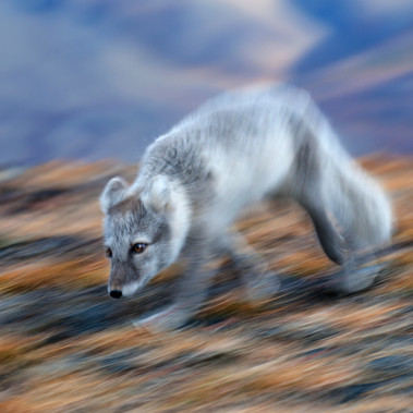 Arctic Fox-Svalbard