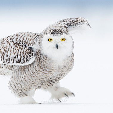 Snowy Owl-Borgefjell