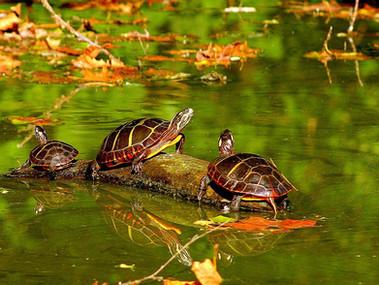 Old Westbury Turtles