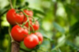 Beautiful red ripe heirloom tomatoes gro