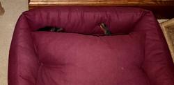 """""""Where's Waldo? I mean Louie?"""" Sleeping buried like a typical dachshund."""