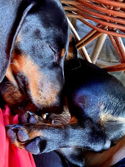 Dachshunds remind me of little peanuts when they sleep curled up.
