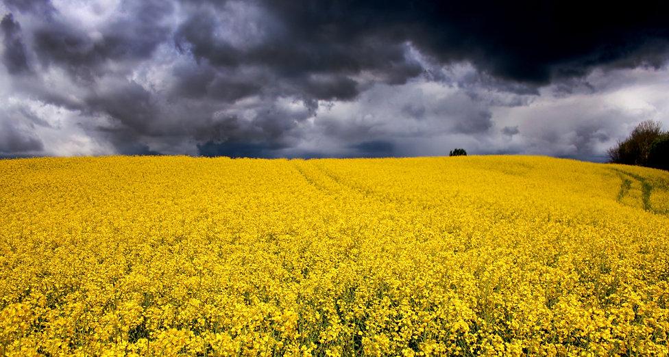 mustard flowers crops hills of denmark
