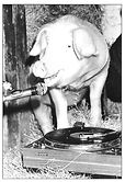 Radio_piggy.jpg