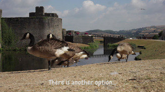 Caerphilly Geese
