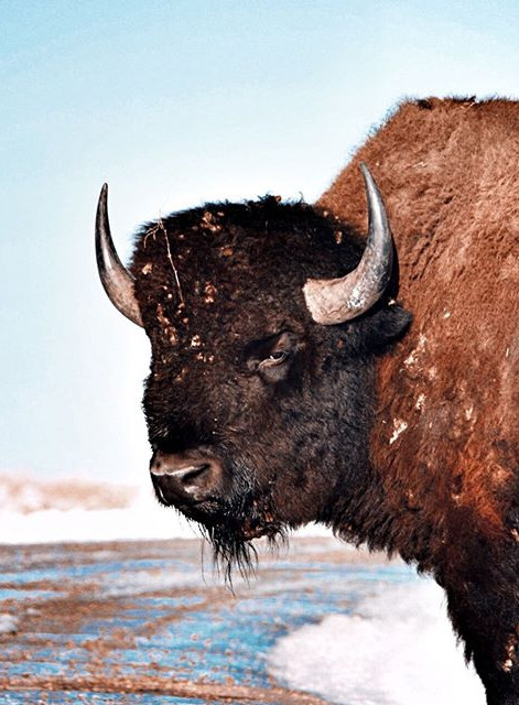 American Bison (Custer State Park, SD-US)