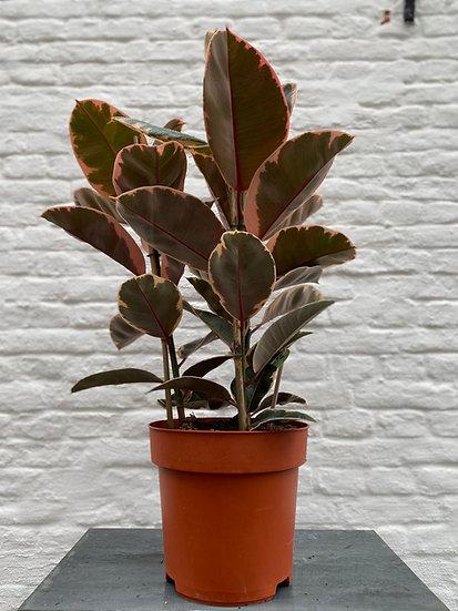 Plant : Ficus Elastica