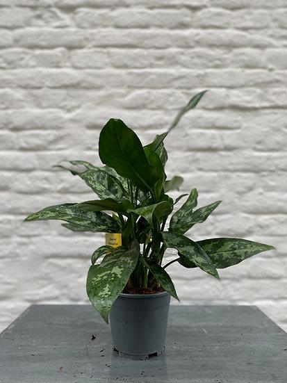 Plant : Aglaonema