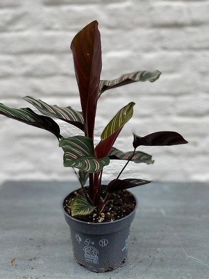 Plant : Calathea Ornata