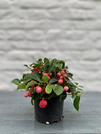Plant : Gaultheria