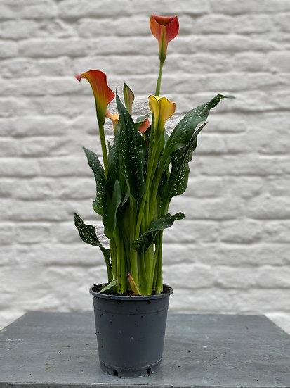 Plant : Calla's