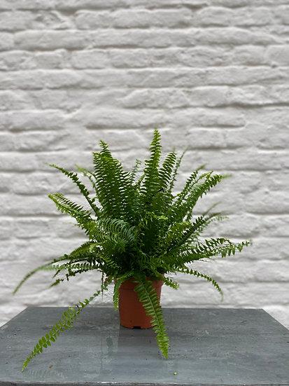 Plant : Varen
