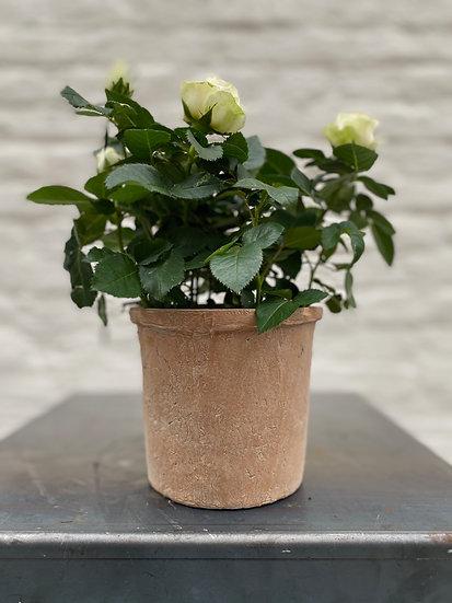 Plant : Rozen