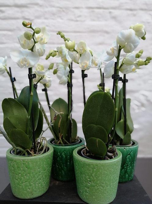 Orchidee in groen potje