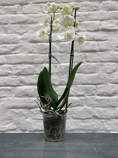 Plant : Orchidee Maat 3