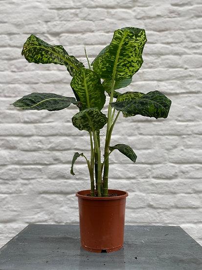Plant : Dieffenbachia