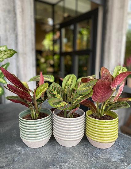 Plant : Calathea in pot