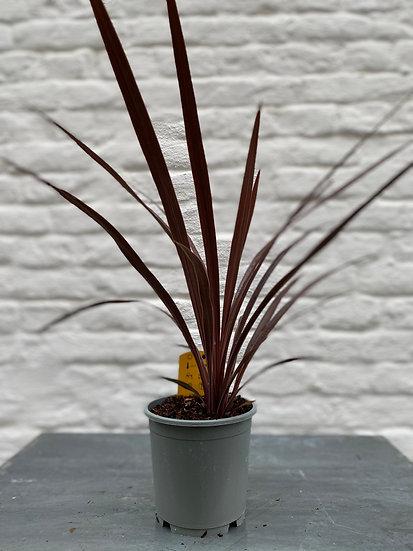 Plant : Cordyline