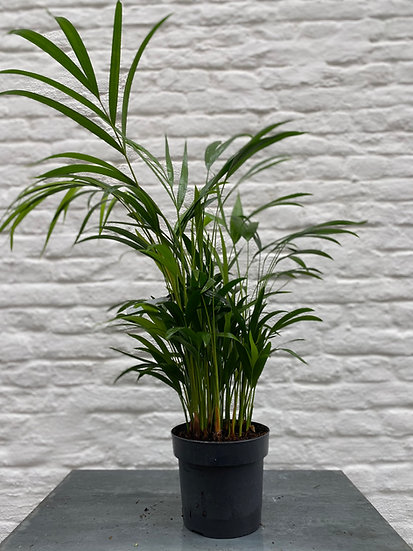 Plant : Goudpalm