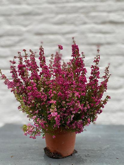 Plant : Erica Gracilis