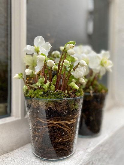 Plant : Helleborus in glazen pot
