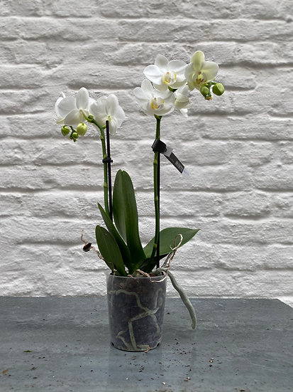 Plant : Orchidee Maat 2