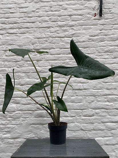 Plant : Alocasia Zebrina