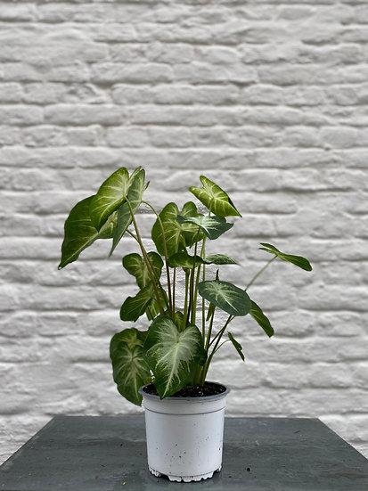 Plant : Syngonium Pixie