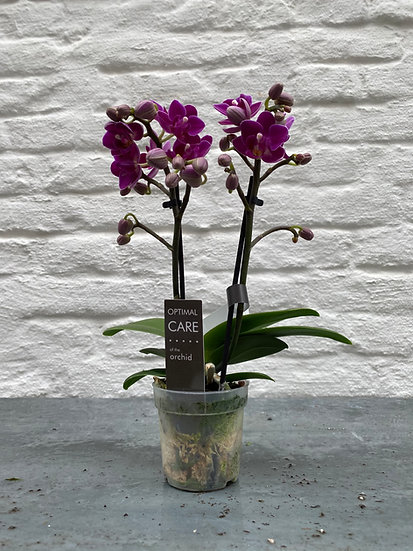 Plant : Orchidee Maat 1
