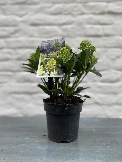 Plant : Skimmia