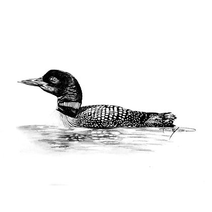Loon - HB Pencil Drawing - Video Recording