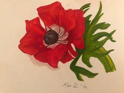 Red Poppy 2