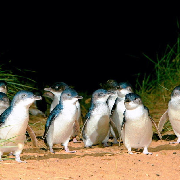 Little Penguins arriving home