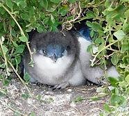 Baby Penguin Chicks