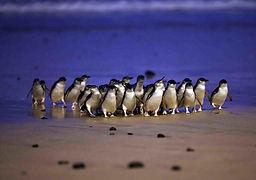 Penguins arriving home at dusk