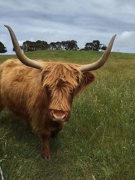 churchill-cow.jpg