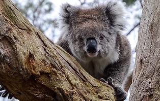 Cute-koala-fun-day-e1505179840252.jpg